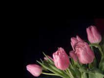 Pink tulips. Bouquet of wet pink tulips Stock Photo