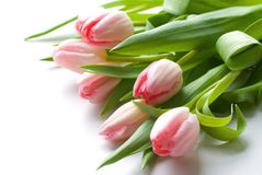 Pink tulips Stock Image