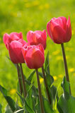 Pink tulips. Beautiful spring tulips in a sunny day Stock Images