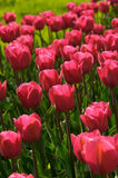 Pink tulips. Beautiful spring tulips in a sunny day Royalty Free Stock Image