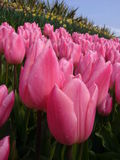Pink tulips Royalty Free Stock Images