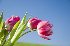 Pink tulips Stock Photo