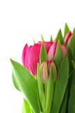 Pink tulips. And green leaves, isolated on white background. It's spring Royalty Free Stock Photo