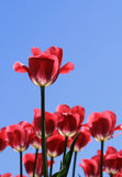 Pink Tulips Royalty Free Stock Photography