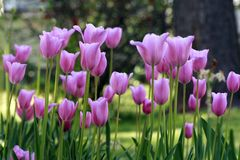 Pink Tulips. Group of pink spring tulips Royalty Free Stock Photography
