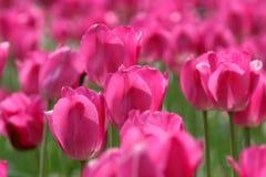 Pink tulips. Rife tulips stock photo