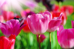 Pink tulips. Many colourful tulips in garden Royalty Free Stock Image