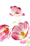 Pink tulips. Some opened pink tulips over white Royalty Free Stock Photos