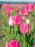 Pink Tulips. With good depth of field Stock Photography