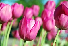Pink tulips. On green grass Stock Photography