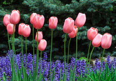 Pink Tulips and Ajuga Flowers. Pink tulips bloom over violet purple ajuga flowers with blue spruce pines behind Royalty Free Stock Photos