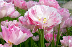 Pink tulips Angelique Royalty Free Stock Image
