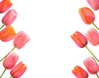 Pink tulips background and border floral design Stock Images