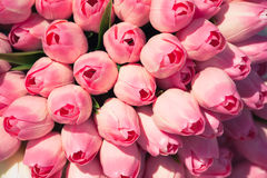 Pink tulips background Stock Photo