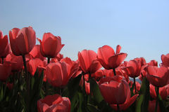 Pink tulips in backlight Royalty Free Stock Photos