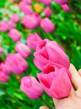 Pink tulips. Beautiful pink tulips in garden Royalty Free Stock Photography