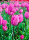 Pink tulips. Beautiful pink tulips in garden stock photos