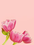 Pink tulips. Beautiful pink tulips from the Netherlands isolated on pink background Stock Photo