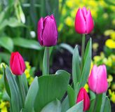 Pink tulips bloom in spring royalty free stock images