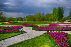 Pink tulips. A bed of pink tulips Stock Photo