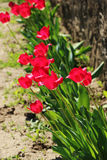 Pink tulips,bed. Field of red tulips at the time of flowering Royalty Free Stock Photos