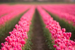 Pink Tulips Bend Towards Sunlight Floral Agriculture Flowers Stock Image