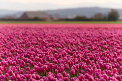 Pink Tulips Bend Towards Sunlight Floral Agriculture Flowers Royalty Free Stock Photo