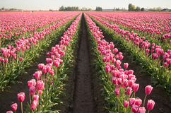 Pink Tulips Bend Towards Sunlight Floral Agriculture Flowers Stock Photo