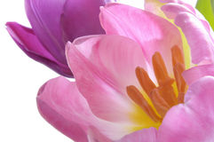 Pink Tulips in bloom Stock Images