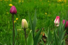 Pink tulips bloom in the garden, spring flowers stock photo