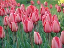 Pink tulips bloomed in spring in the city garden stock image