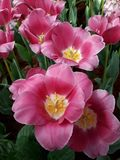 Pink tulips. Tulips are blooming. royalty free stock image