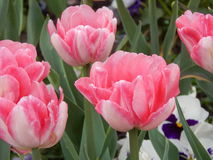 Pink tulips. Royalty Free Stock Photography