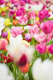 Pink tulips blooming in garden Royalty Free Stock Image