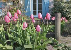 Pink Tulips Blooming In Front Of A Rural House With Blue Shutters Royalty Free Stock Photo