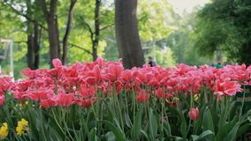 Pink tulips blowing in the wind, tulip festival stock footage