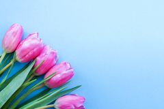 Pink tulips on blue background.flowers as a gift stock images