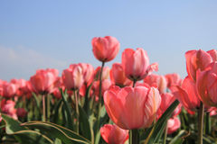 Pink tulips and a blue sky Stock Photography