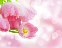 Pink tulips, bokeh Stock Photography