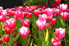 Pink Tulips. In Botanic Garden Royalty Free Stock Photography
