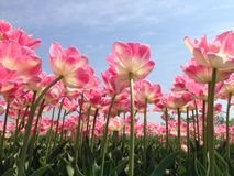 Pink tulips. Tulips from bottom up against the blue sky royalty free stock images
