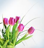 Pink tulips bouquet Royalty Free Stock Images
