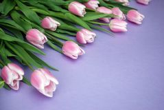 Pink Tulips bouquet, over Purple Background with copy space. Top view. flat Lay. Spring time. Royalty Free Stock Photography