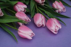 Pink Tulips bouquet, over Purple Background with copy space. Top view. flat Lay. Spring time. Stock Images