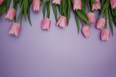 Pink Tulips bouquet, over Purple Background with copy space. Top view. flat Lay. Spring time. Stock Photos
