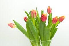 Pink Tulips. Bunch of fresh pink tulips isolated on white background Stock Image