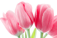 Pink tulips bunch Royalty Free Stock Images