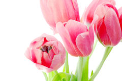 Pink tulips bunch Royalty Free Stock Photos