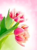 Pink tulips. Stock Photos