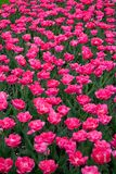 Pink tulips in city park 3 stock photography